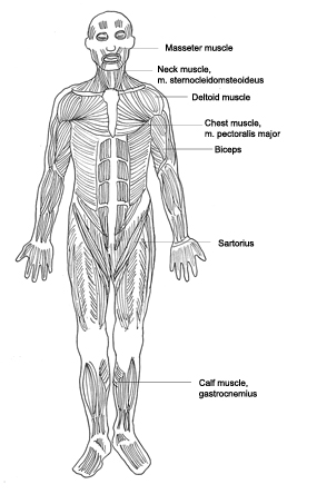 Human Body Diagram  Medical Clipart