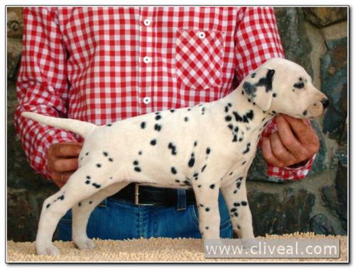 cachorra dálmata alealudere de cliveal