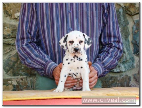 cachorra dálmata alexandria de cliveal