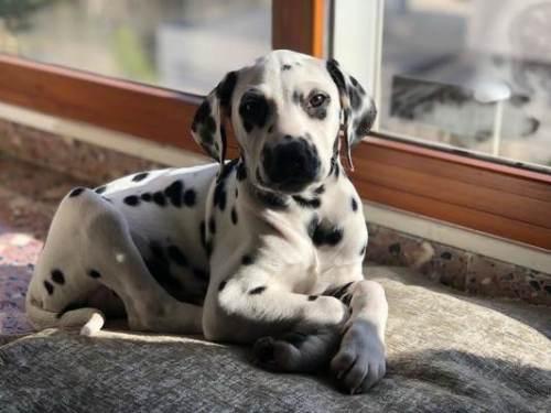 cachorra dalmata alicante 2019