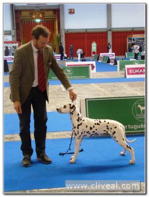 cachorra dalmata en exposicion canina de oporto 2017
