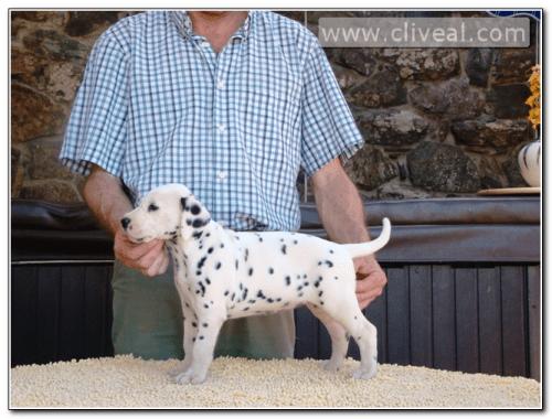 cachorra-dalmata-fruere-hora-de-cliveal-1