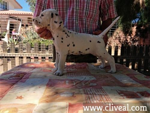 cachorra dalmata garumna de cliveal costado izquierdo