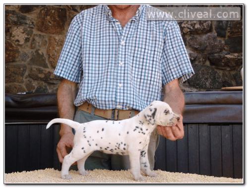 cachorra dalmata color hígado con un mes