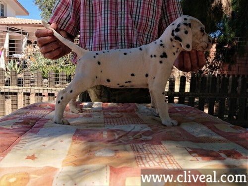 cachorra dalmata kalendae de cliveal costado derecho