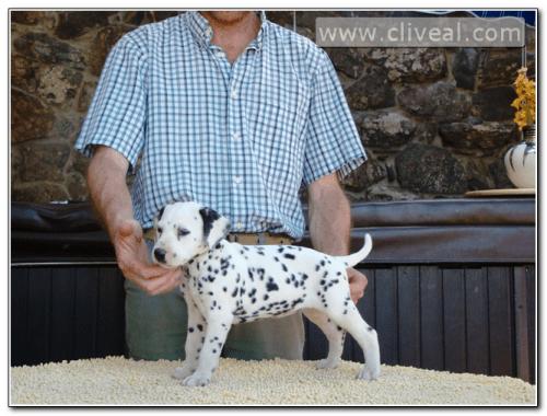 cachorra dalmata llamada luscinea de cliveal