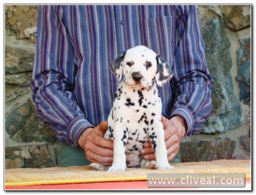 cachorra dálmata odyssea de cliveal