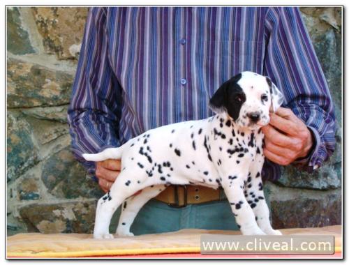 cachorra dálmata priora facta de cliveal