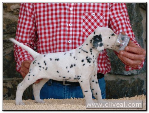 cachorra dalmata quaetura de cliveal