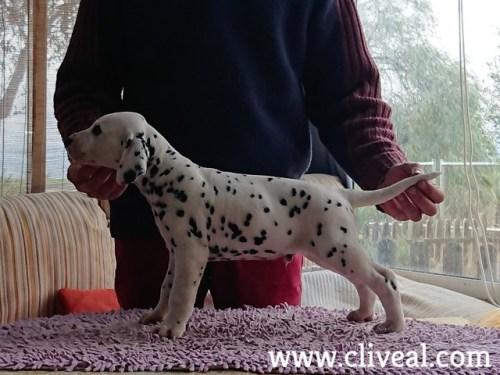 cachorrin dalmata