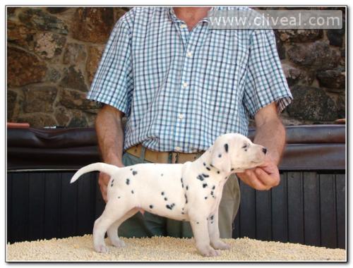 cachorrito dalmata llamado alicunde de cliveal