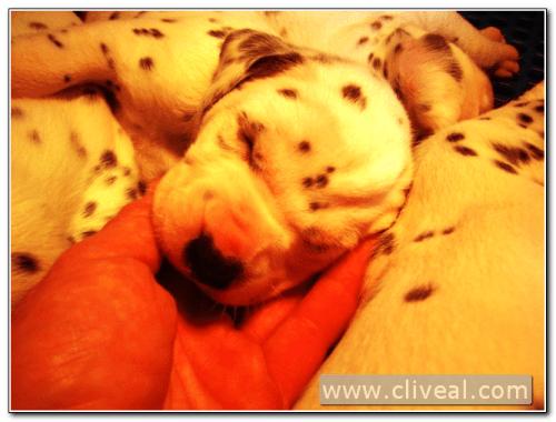 cachorrito dalmata dormido en la mano