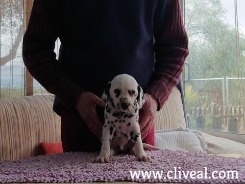cachorrito de dalmata
