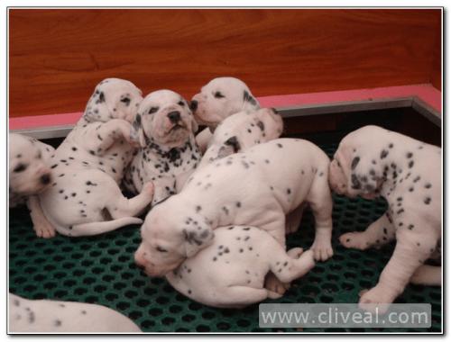 cachorritos dalmatas del criadero cliveal 2