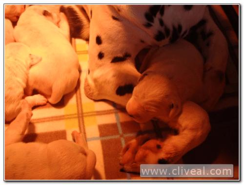 cachorritos dalmatas de menos de una semana