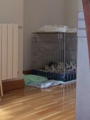 cachorro-dalmata-durmiendo-en-una-jaula