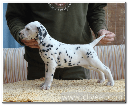 cachorro-dalmata-flamma-de-cliveal