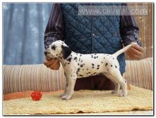 cachorro-dalmata-hembra-Navitas-de-Cliveal-1