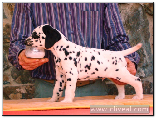 cachorro dalmata index de cliveal