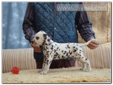 cachorro-dalmata-macho-Cornelius-de-Cliveal-1