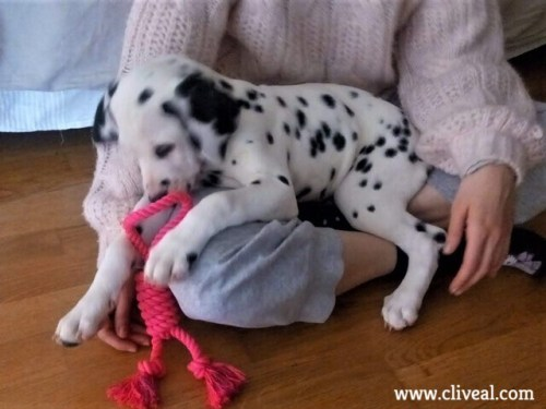 cachorro dálmata macho ávila
