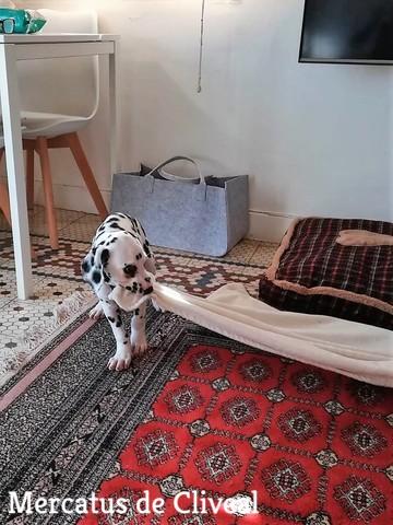 cachorro-dalmata-malaga