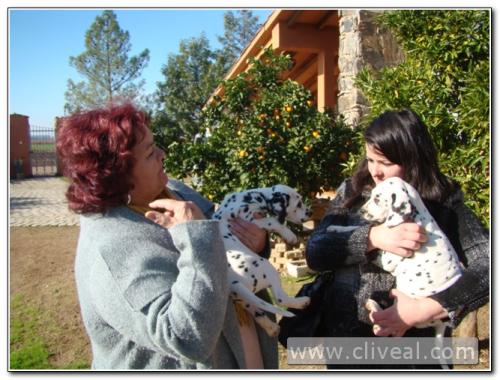cachorro dálmata en Plasencia (Cáceres)