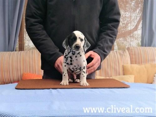 cachorro dalmata spectabilis de cliveal 2