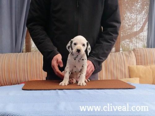 cachorro dalmata vorago de cliveal 2