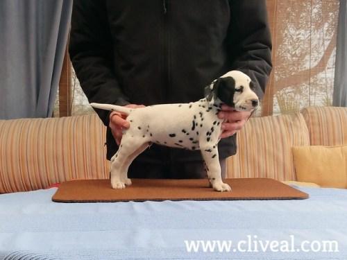 cachorro dalmata xenii de cliveal 1