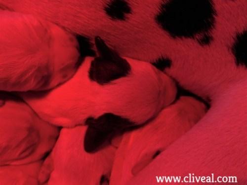 cachorro orejas marrones