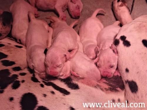 cachorros dalmata mamando