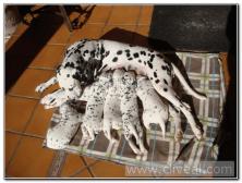 cachorros-dalmata-mamando