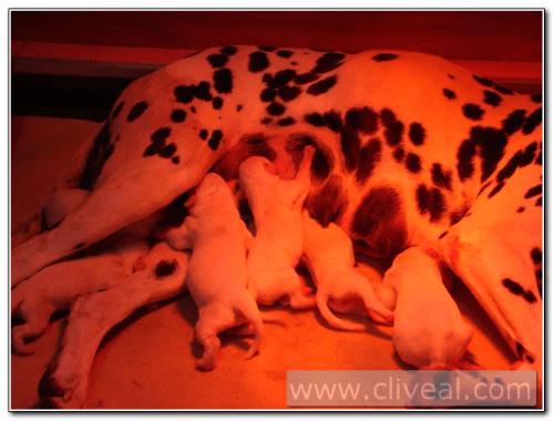 cachorros-dalmata-recien-nacidos