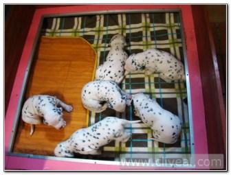 cachorros-dalmatas-de-veinte-dias
