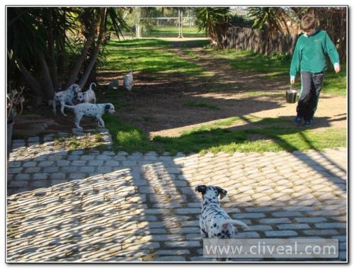 cachorros dalmatas por el jardin