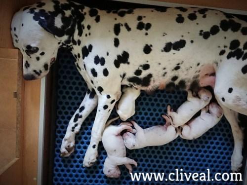 cachorros neonatos con su madre