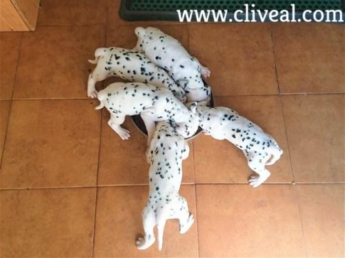 camada cachorros comiendo