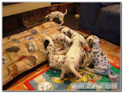 camada-de-cachorritos-dalmatas