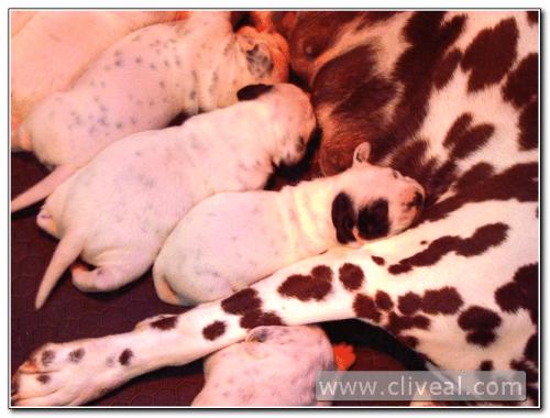 camada de cachorritos dalmatas