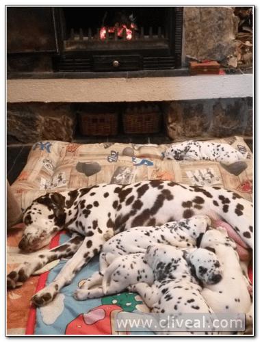 camada de cachorros dálmatas junto a su madre