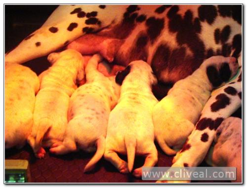 camada de cachorros dalmatas mamando a su madre