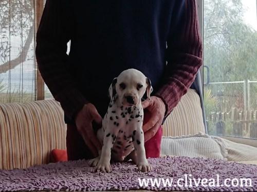 dalmata-cachorrito