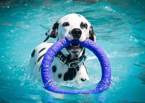 dalmata en la piscina