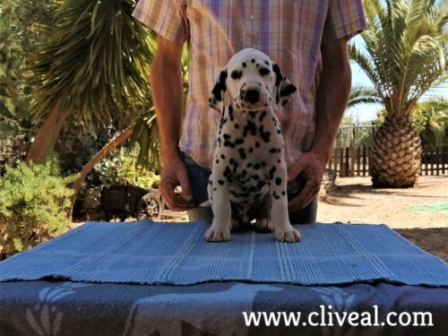 dalmata interdictum de cliveal 2