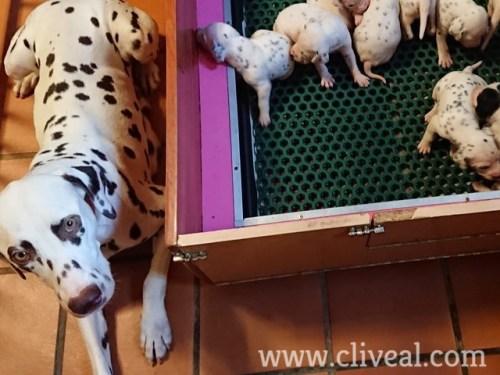 dalmata junto sus cachorritos