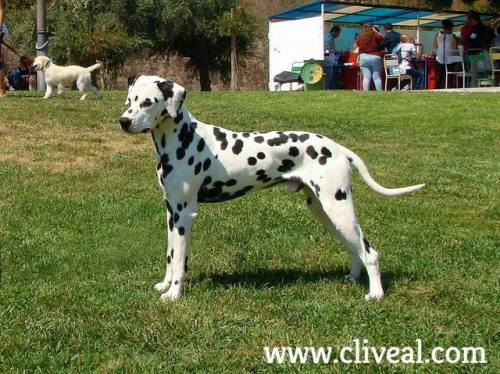 dalmata macho codex atlanticus de cliveal