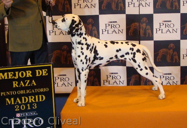dalmata-manducabulla-de-Cliveal