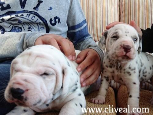 dalmatas-cachorros-madrid