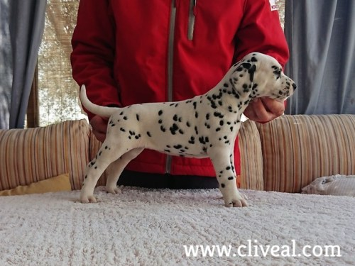 dalmatian puppy suppar de cliveal 1